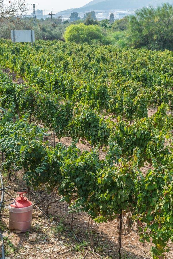 Wijngaard in Israël stock foto