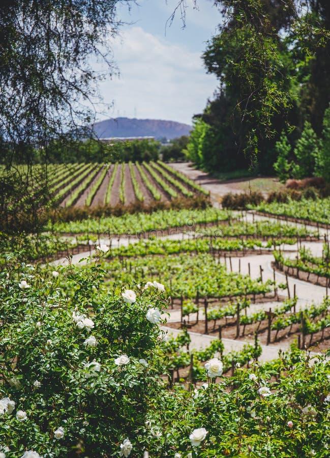 Wijngaard Landschaps Chileense wijngaard Landelijke landcape in zonnige dag stock foto