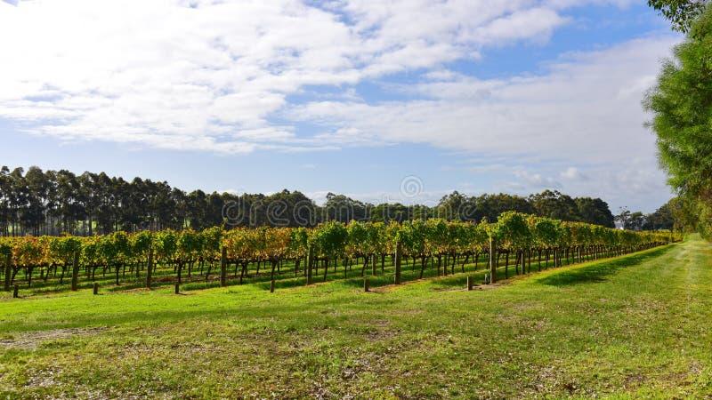 Wijngaard in Margaret River, Westelijk Australië stock afbeelding