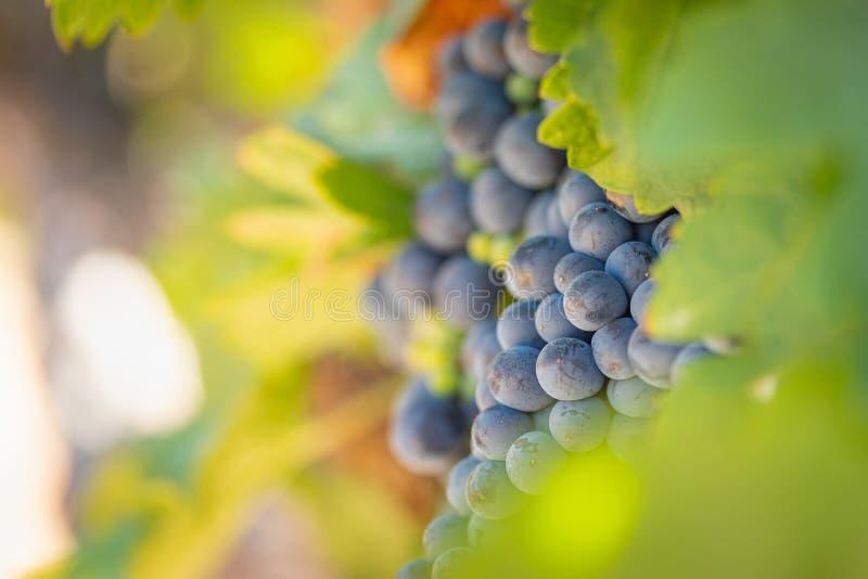 Wijngaard met de Weelderige, Rijpe Druiven van de Wijn op de Wijnstok Klaar voor Oogst royalty-vrije stock afbeelding