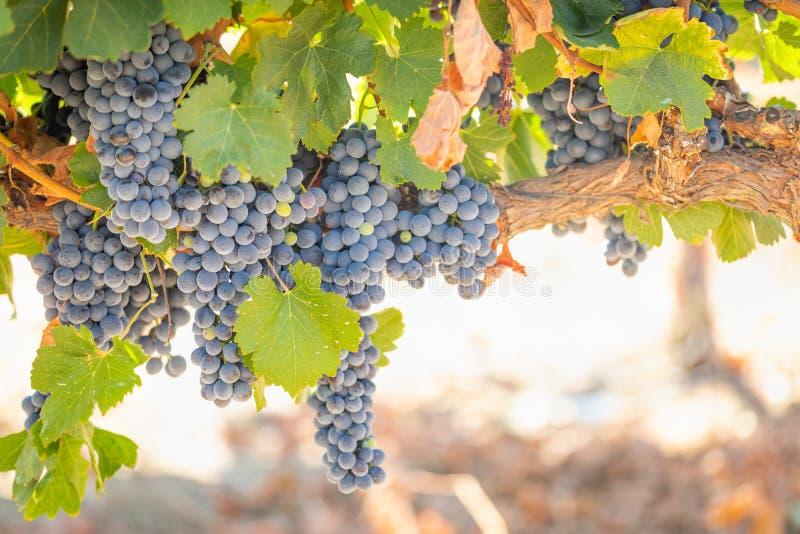 Wijngaard met de Weelderige, Rijpe Druiven van de Wijn op de Wijnstok Klaar voor Oogst stock fotografie