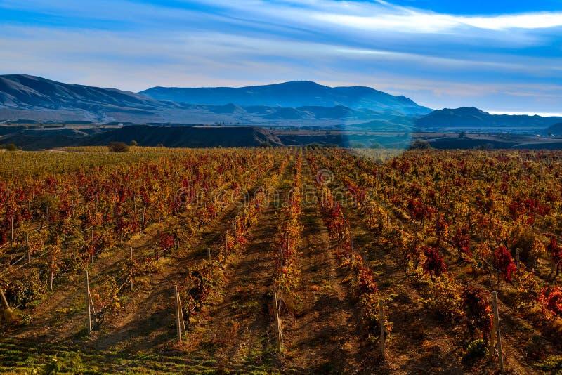 Wijngaard met geel-roodbladeren in de herfst bij zonsondergang royalty-vrije stock fotografie