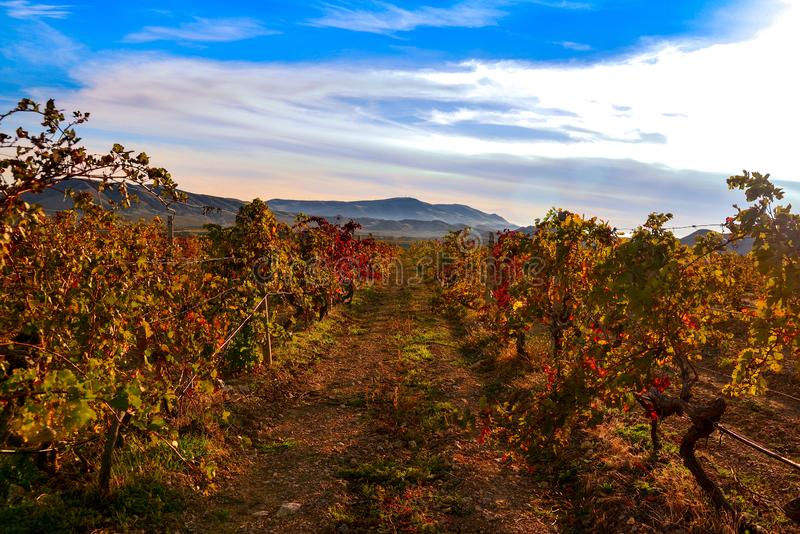 Wijngaard met geel-roodbladeren in de herfst bij zonsondergang stock fotografie