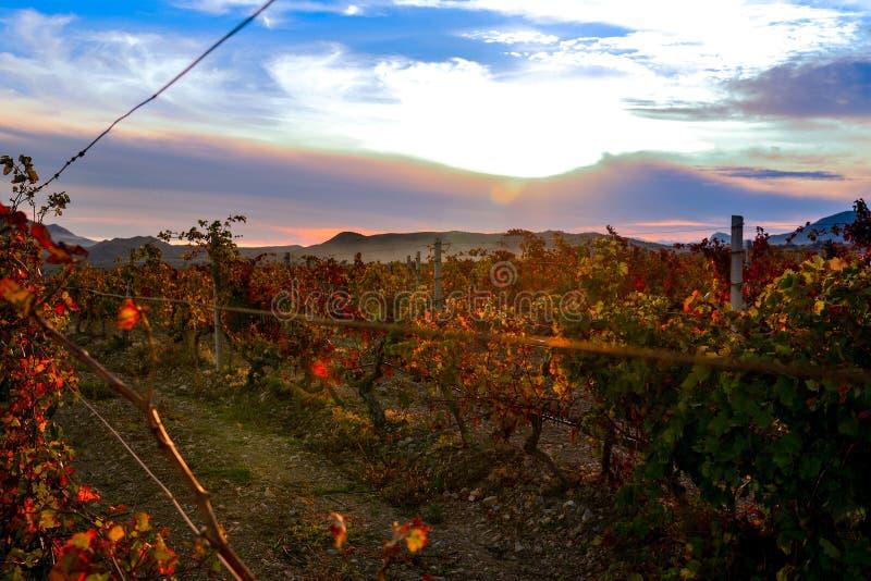 Wijngaard met geel-roodbladeren in de herfst bij zonsondergang royalty-vrije stock foto's
