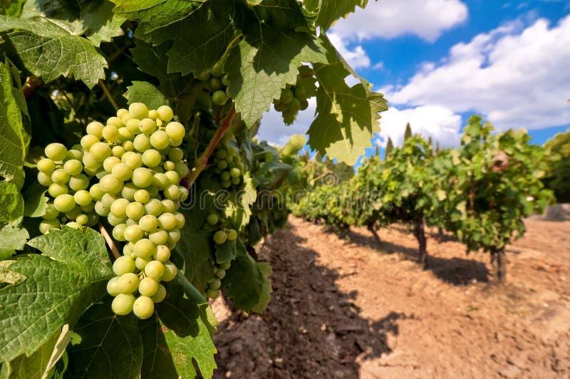 Wijngaard met groene druiven stock afbeeldingen