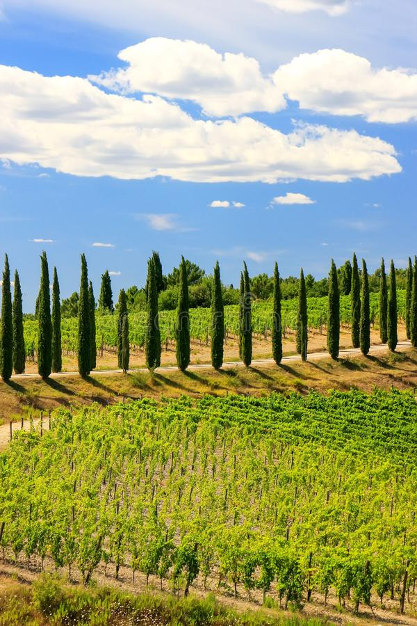 Wijngaard met rij van cipresbomen in Val D ` Orcia, Toscanië, Ital royalty-vrije stock afbeelding