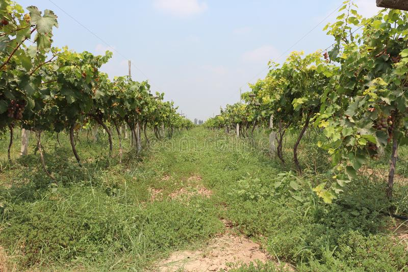Wijngaard met Rijpe druiven in Lintong, China stock foto's