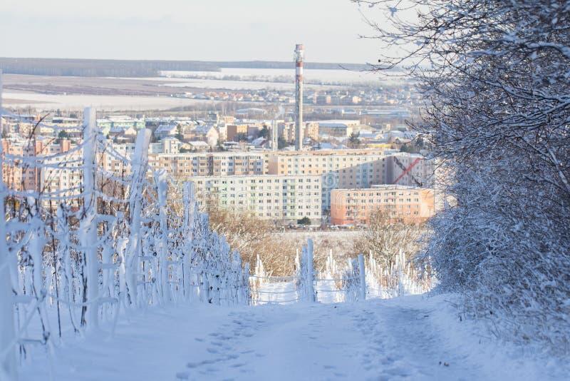 Wijngaard met sneeuw boven Pezinok Slowakije wordt behandeld dat royalty-vrije stock foto