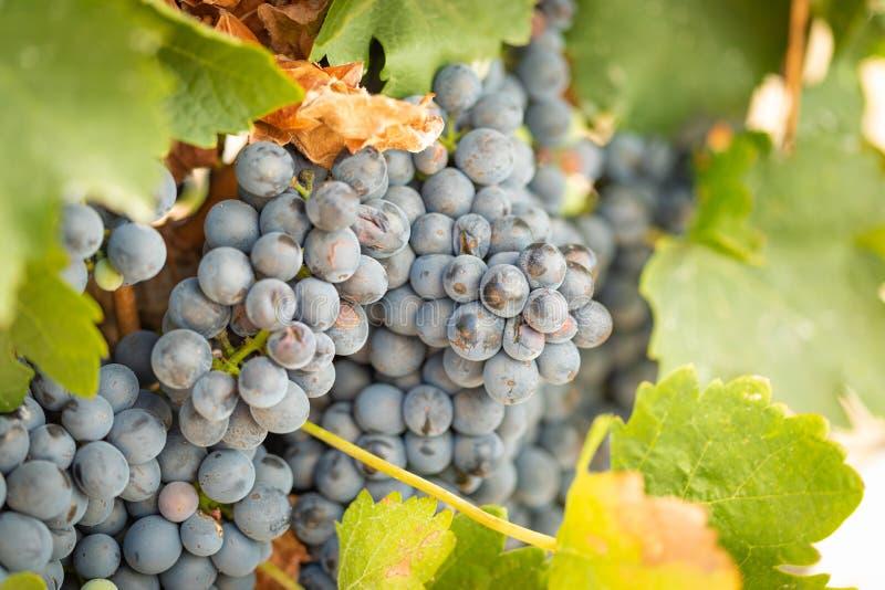 Wijngaard met Weelderige, Rijpe Wijndruiven op de Wijnstok Klaar voor het Oogsten royalty-vrije stock foto's