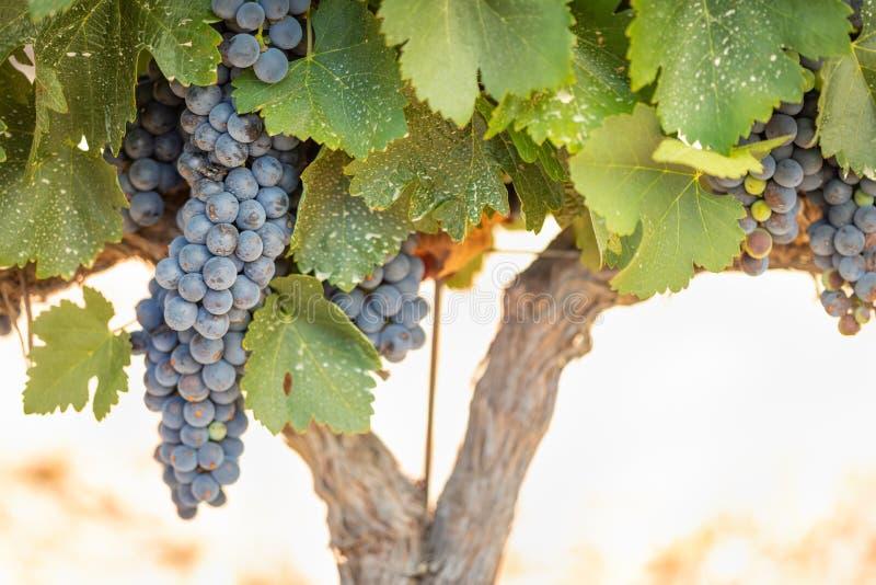 Wijngaard met Weelderige, Rijpe Wijndruiven op de Wijnstok Klaar voor het Oogsten stock foto