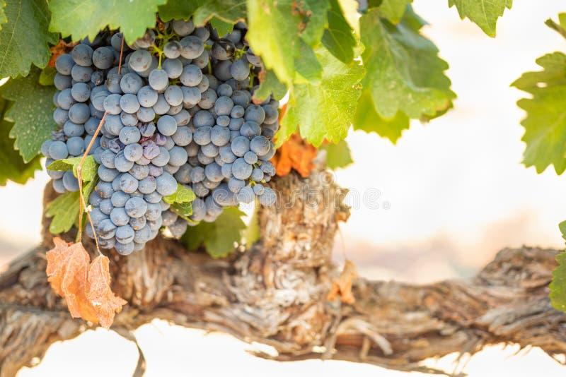 Wijngaard met Weelderige, Rijpe Wijndruiven op de Wijnstok Klaar voor het Oogsten stock afbeeldingen