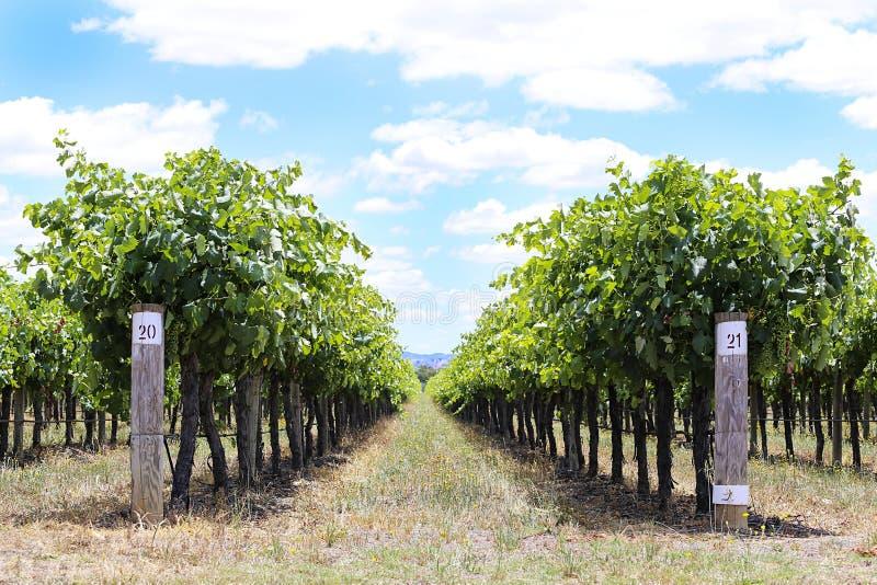 Wijngaard in Mudgee, Australië royalty-vrije stock fotografie