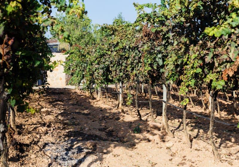 Wijngaard na oogst stock afbeeldingen
