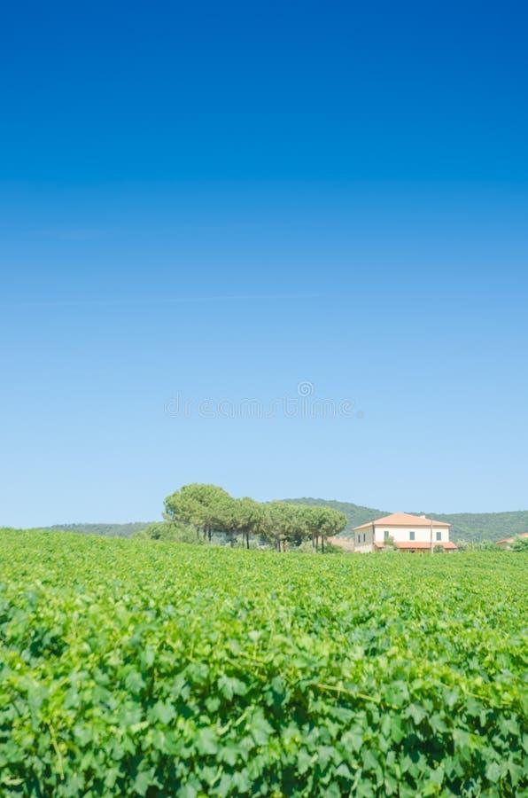 Wijngaard op een heldere dag stock afbeelding