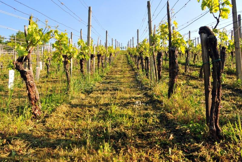Wijngaard op een heldere zonnige de lentedag stock afbeeldingen