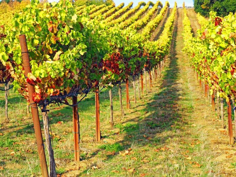 Wijngaard op een heuvel stock afbeeldingen