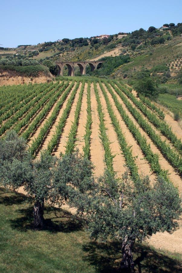 Wijngaard op Eiland Sicilië stock fotografie