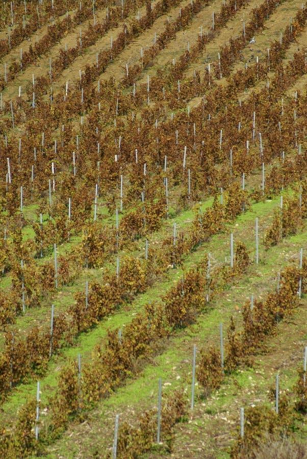 Wijngaard op zachte helling in het gebied van Etna, Sicilië stock fotografie