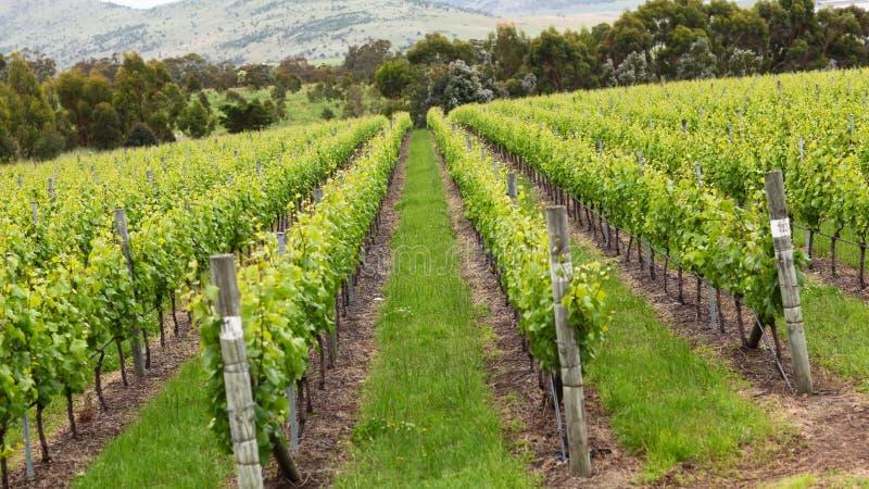 Wijngaard in platteland royalty-vrije stock fotografie