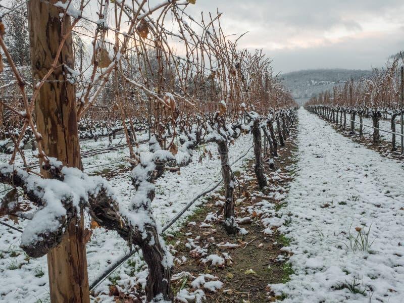 Wijngaard plattelandsgebied in de winter stock foto's