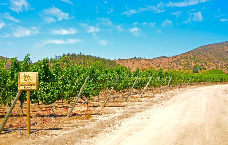 Wijngaard Sauvignon Blanc royalty-vrije stock afbeelding