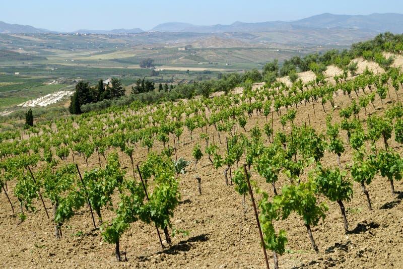 Wijngaard in Sicilië royalty-vrije stock foto's