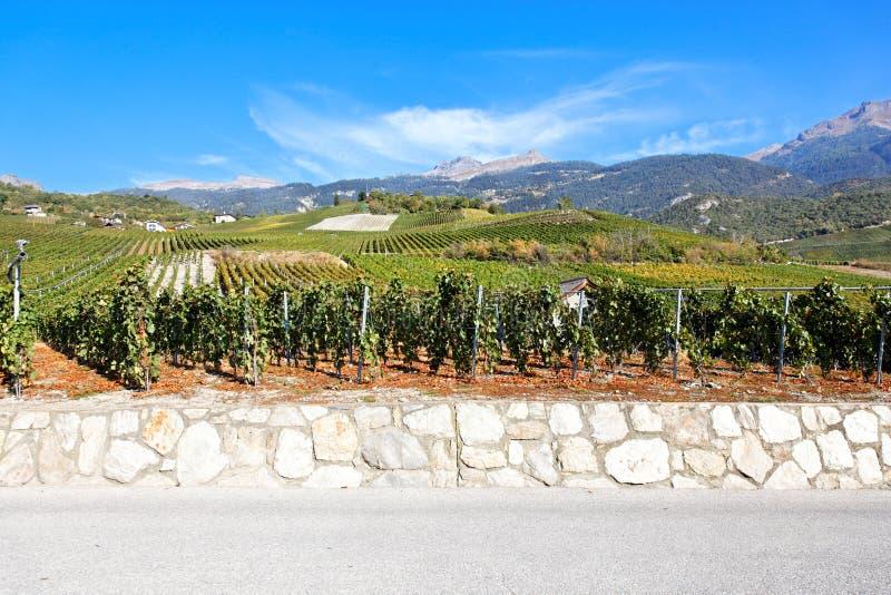 Wijngaard in Sierre, Valais, Zwitserland stock foto's