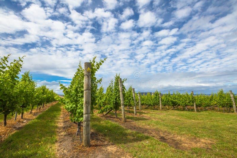 Wijngaard in Tasmanige royalty-vrije stock afbeeldingen