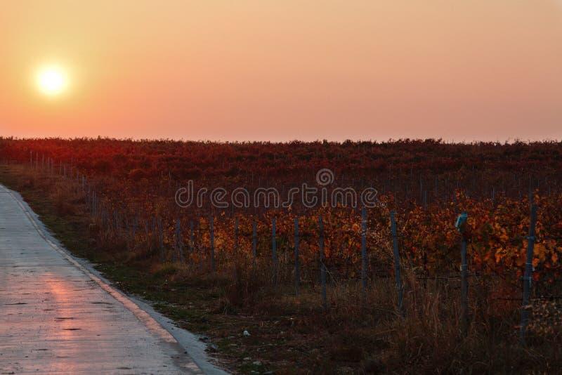 Wijngaard tijdens zonsondergang royalty-vrije stock fotografie