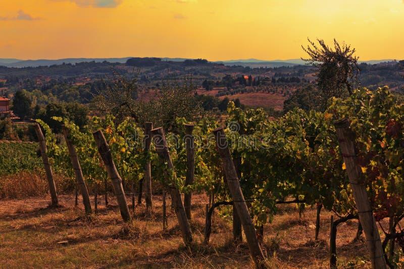 Wijngaard in Toscanië stock fotografie