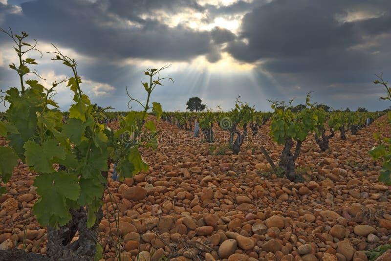 Wijngaard vóór een onweer. stock foto's