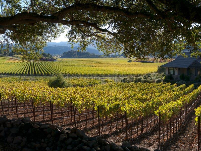Wijngaard in Vallei Napa stock foto's