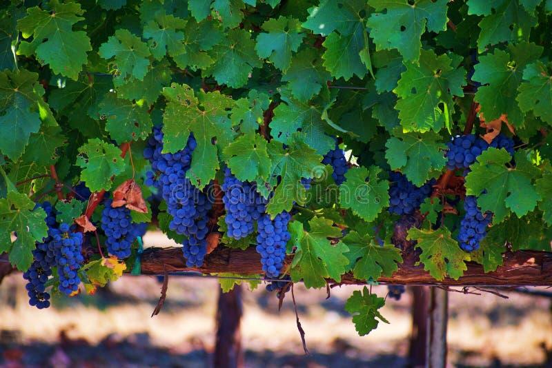 Wijngaard in Vallei Napa stock fotografie