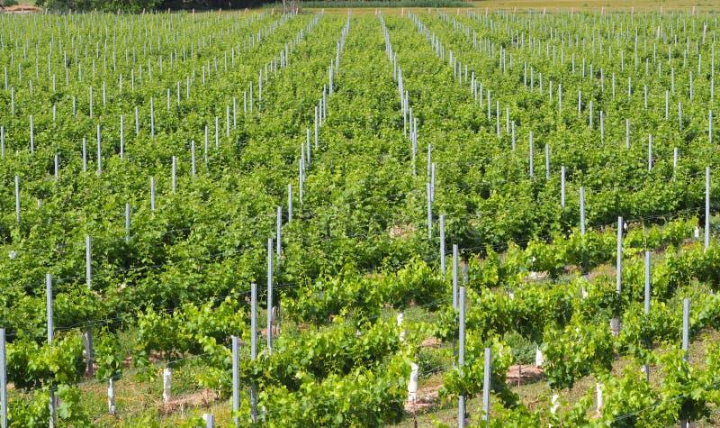 Wijngaard in volledige explosie van kleur, lerida royalty-vrije stock foto's