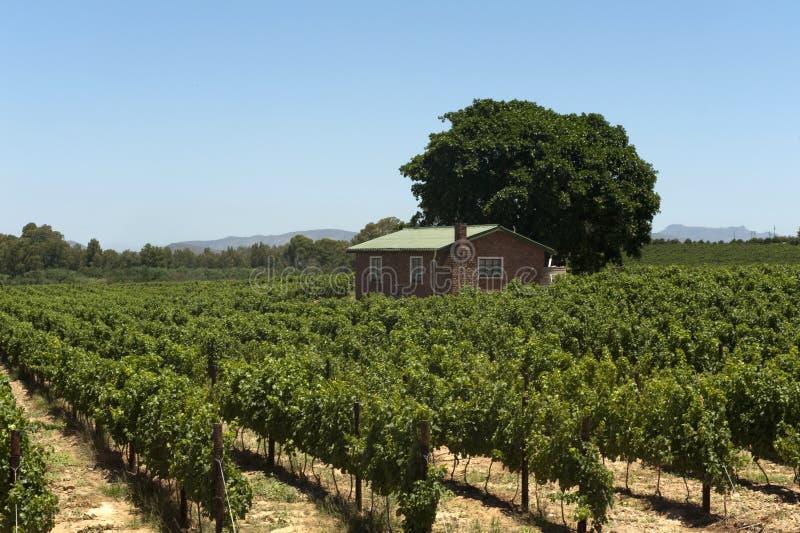 Wijngaard in Zuid-Afrika royalty-vrije stock foto