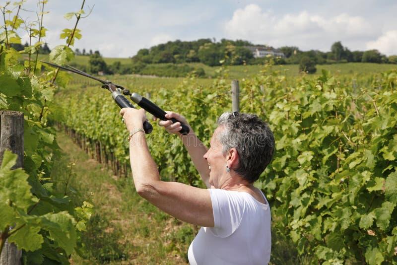 Wijngaarden, bernkastel-Kues, Duitsland royalty-vrije stock afbeelding