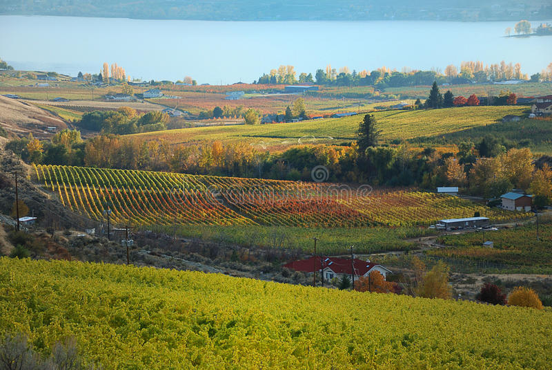 Wijngaarden bij de zonsondergang royalty-vrije stock fotografie