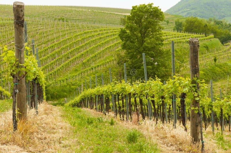 Wijngaarden bij Euganean-heuvels, Veneto, Italië tijdens de lente royalty-vrije stock afbeeldingen