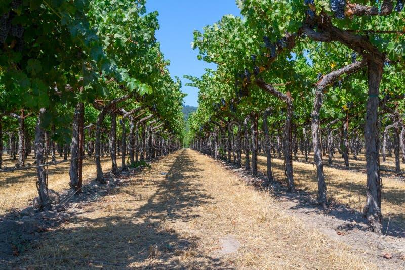 Wijngaarden bij Sonoma-vallei royalty-vrije stock afbeeldingen