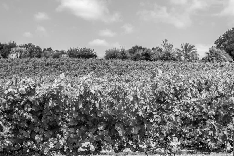 Wijngaarden bij Sonoma-vallei stock fotografie