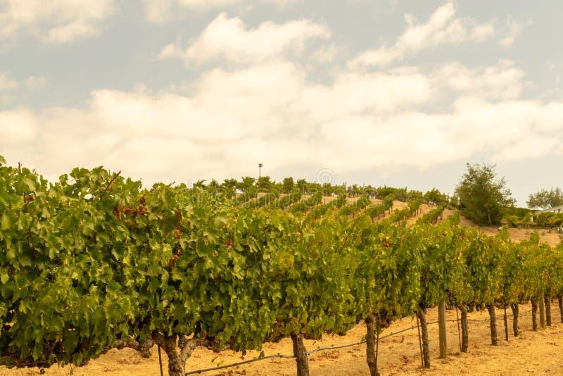 Wijngaarden bij Sonoma-vallei royalty-vrije stock foto