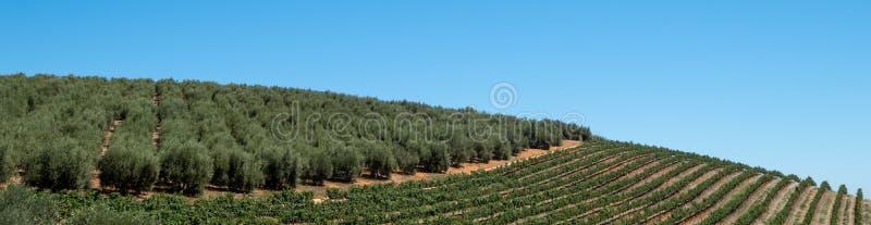 Wijngaarden bij Tokara-Wijnlandgoed in de Simonsberg-bergen, Stellenbosch, Cape Town, Zuid-Afrika, op een duidelijke dag wordt ge stock afbeeldingen