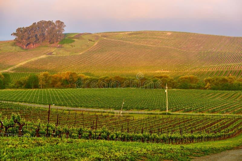Wijngaarden bij zonsopgang in Californië, de V.S. royalty-vrije stock foto