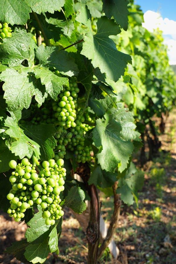 Wijngaarden boven Palava, Zuid-Moravië, Tsjechische republiek stock fotografie