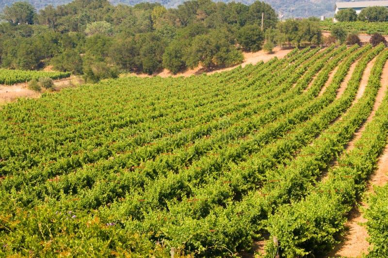 Wijngaarden in Californië royalty-vrije stock afbeeldingen