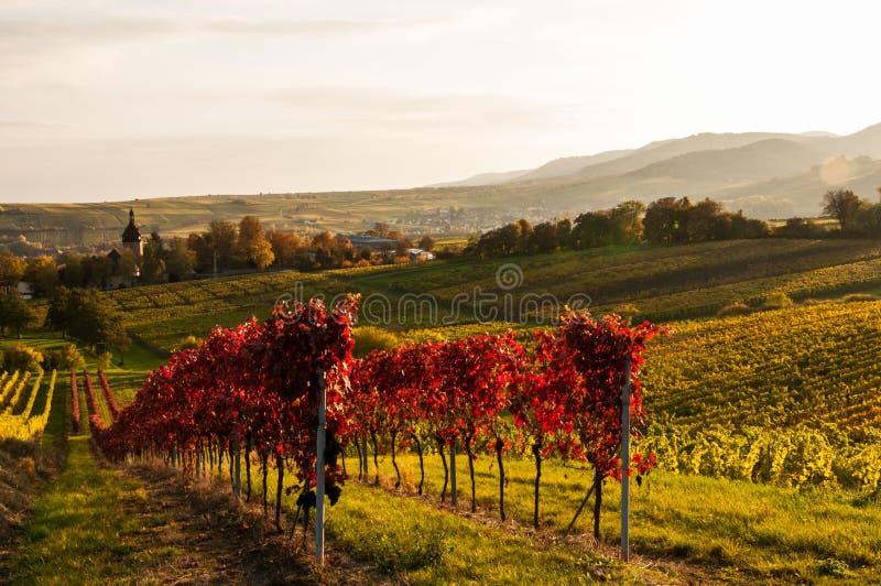 Wijngaarden in de herfst royalty-vrije stock foto's