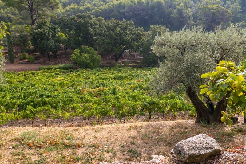 Wijngaarden in de Provence royalty-vrije stock afbeeldingen