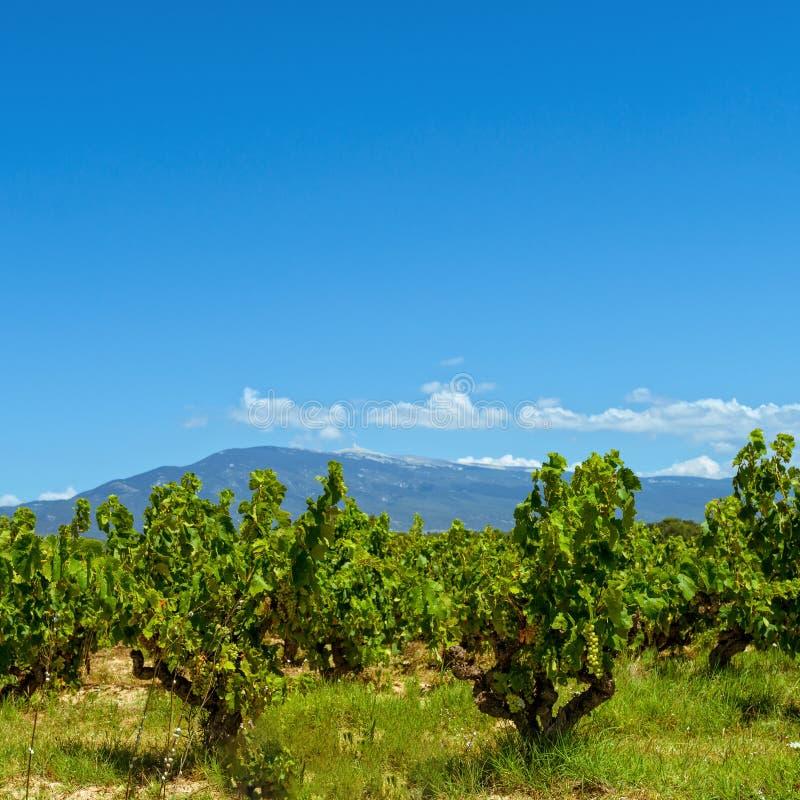 Wijngaarden de Provence royalty-vrije stock fotografie