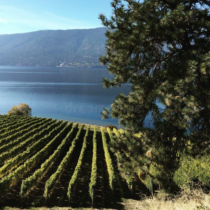 Wijngaarden door meer royalty-vrije stock afbeelding