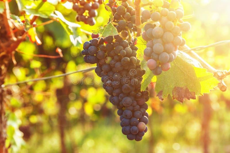 Wijngaarden en druiven bij zonsondergang royalty-vrije stock fotografie